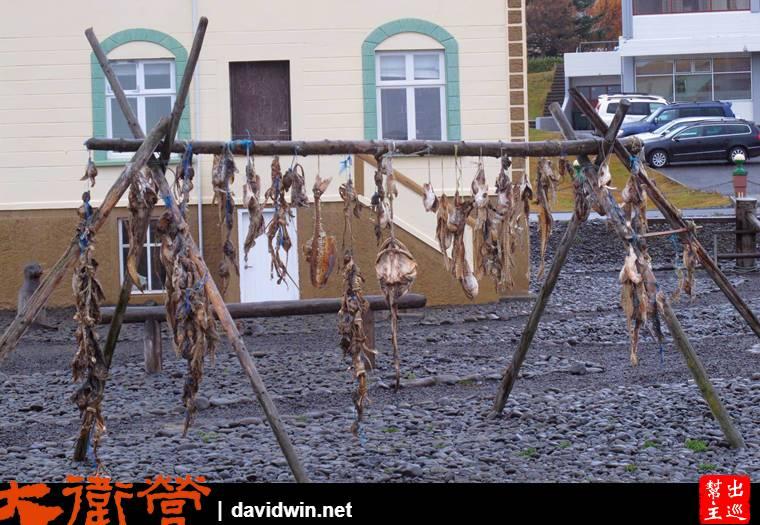 小鎮有很多家庭在製作冰島最有名的『發酵鯊魚肉』