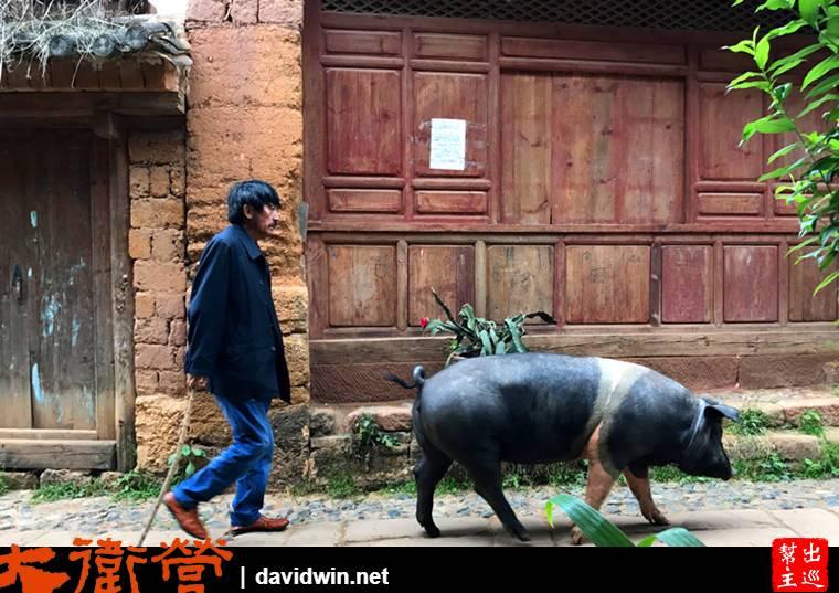 茶馬古道沙溪古鎮遛豬