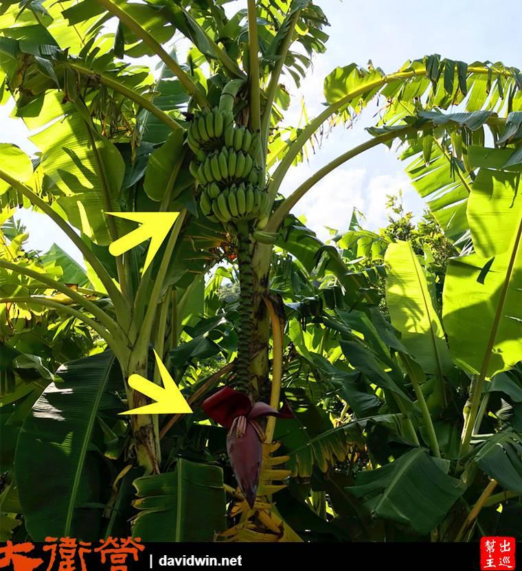 園區內這棵香蕉樹上結實壘壘