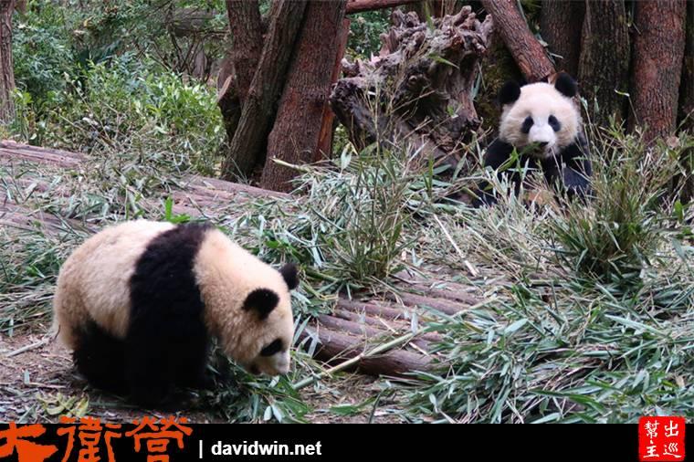 大熊貓繁育研究基地