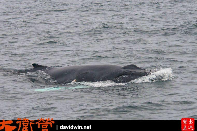 有鯨魚浮上來換氣了,哇!這已經是我們今天看到最大的鯨魚了