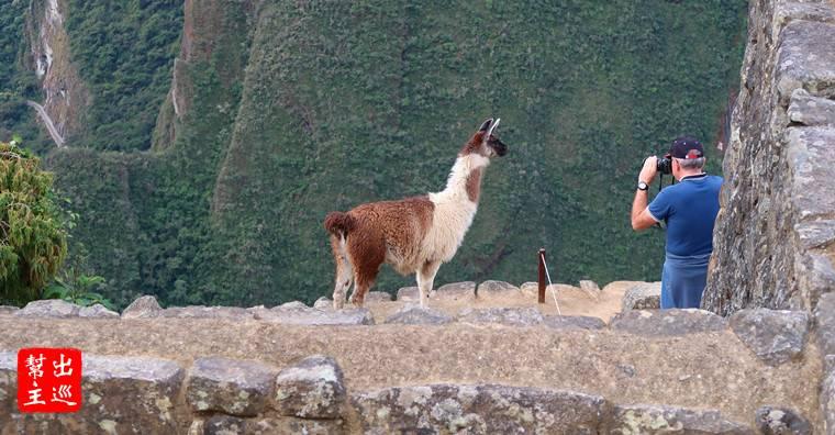 馬丘比丘的另外一個看點就是『羊駝』了!野生羊駝具有在高海拔生存的能耐