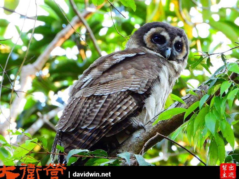 考艾國家公園貓頭鷹