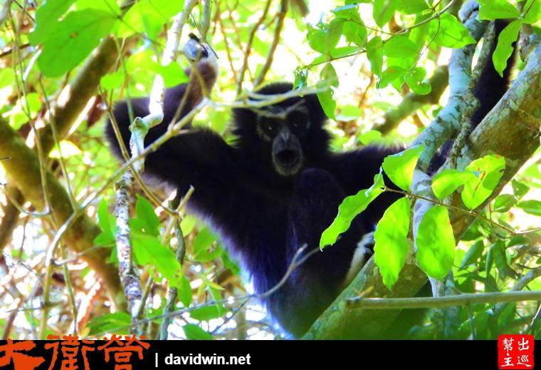 考艾國家公園內的長臂猿