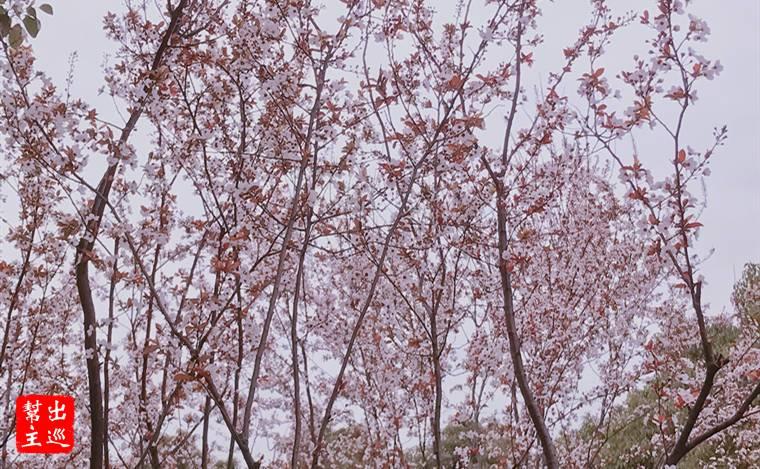 春季蘇州偏地開花,非常的美麗