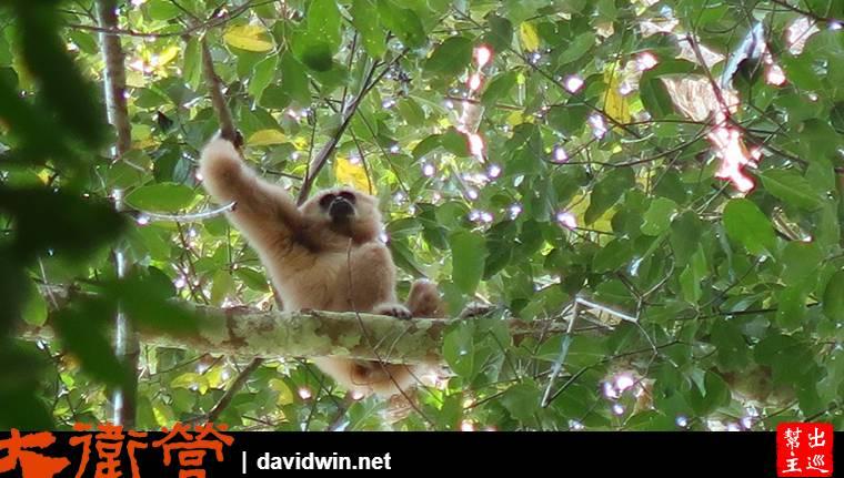 深入考艾國家公園深處發現長臂猿