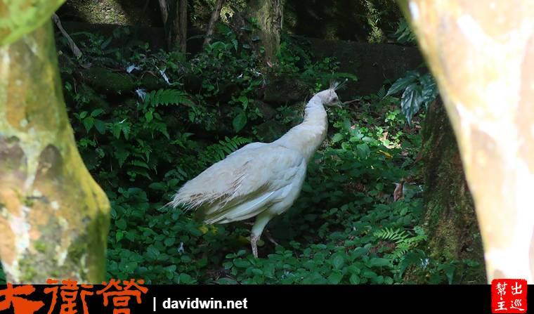 烏來雲仙樂園白孔雀